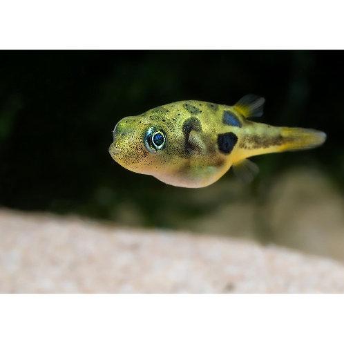 Dwarf Pea Pufferfish