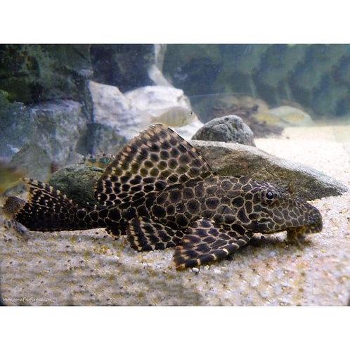 Common Plecostomus