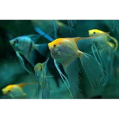 Assorted Veil Tail Angelfish