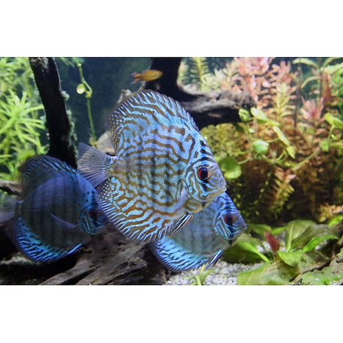 Royal Blue Discus