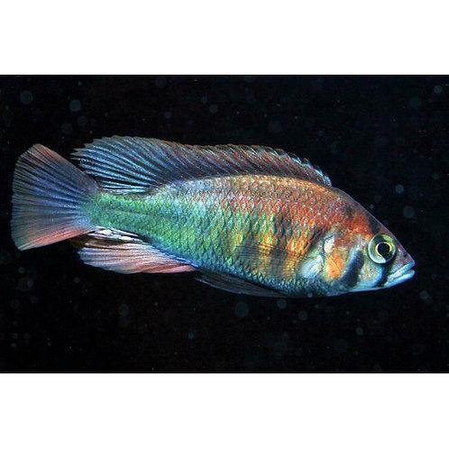 Kyoga Flame Haplochromis