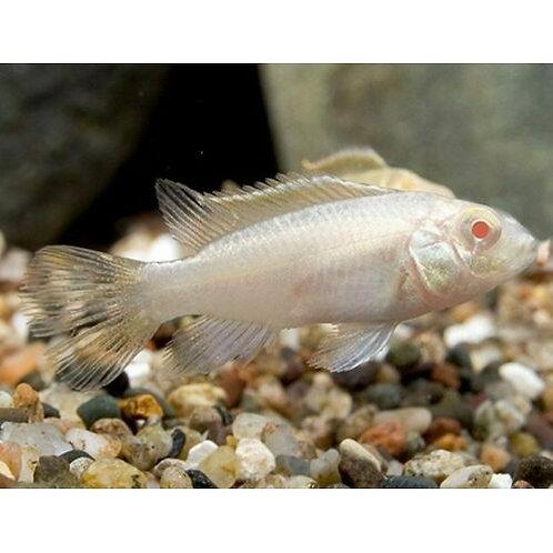 Albino Kribensis Cichlid