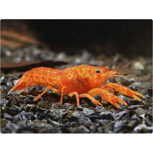 Mexican Dwarf Orange Crayfish
