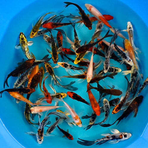 """Assorted Pond Quality Butterfly + Standard Fin Koi 3"""" - 4"""""""