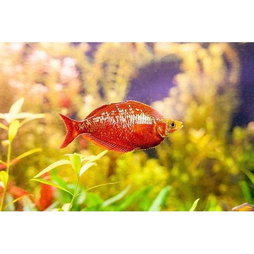New Guinea Rainbowfish