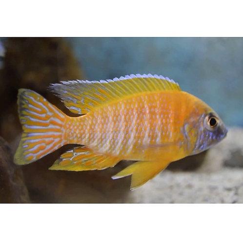 Chidunga Peacock Cichlid