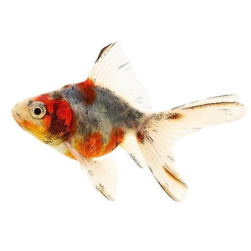 Calico Ryukin Goldfish