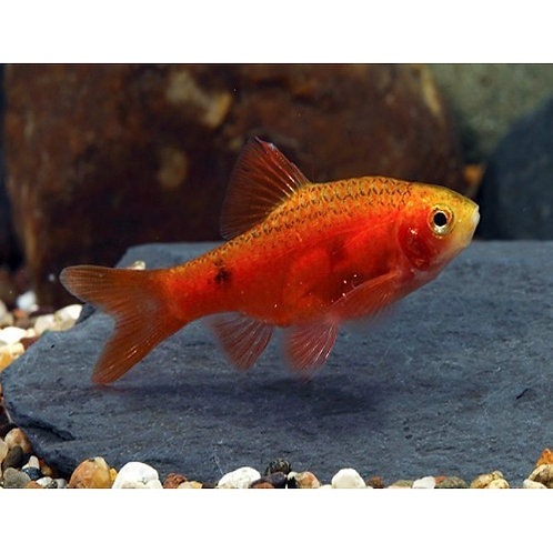 Red Glass Barb