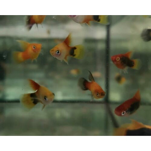 Assorted Hifin Platy