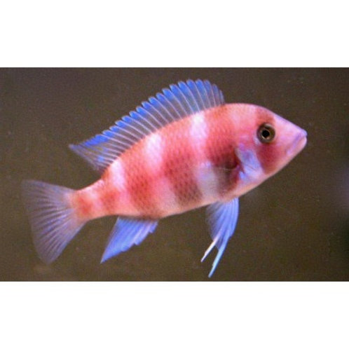 Red Frontosa