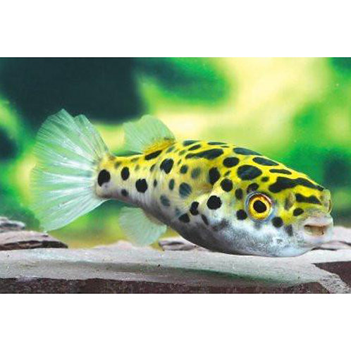 Green Spotted Leopard Puffer