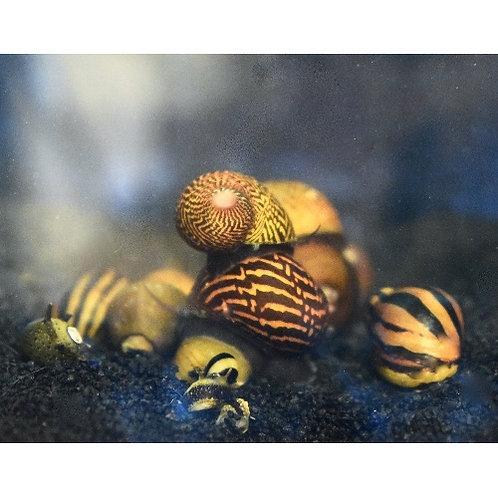 Assorted Fancy Nerite Snail