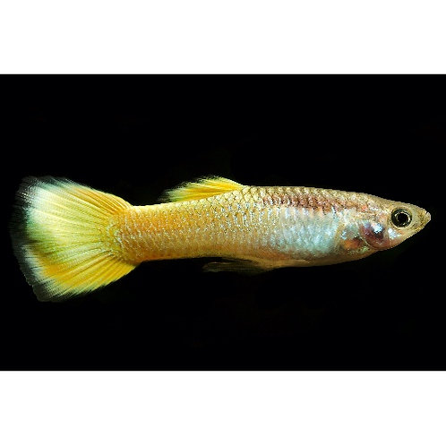 Male Yellow Micariffe Guppy