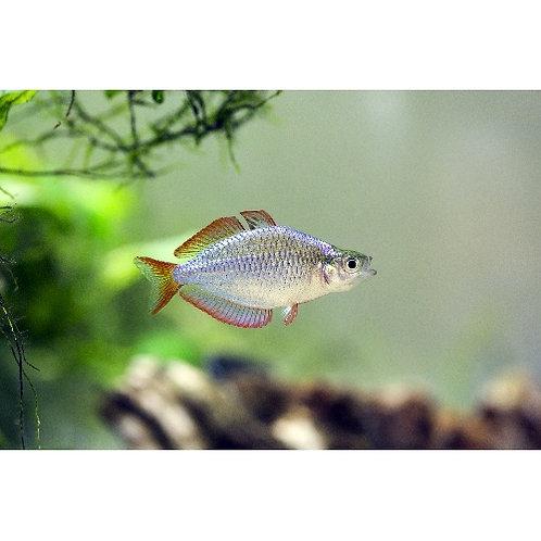 Dwarf Neon Praecox Rainbowfish