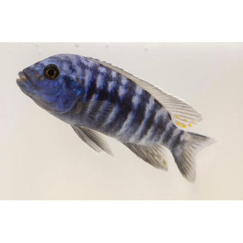 Blue Tiger Peacock Cichlid