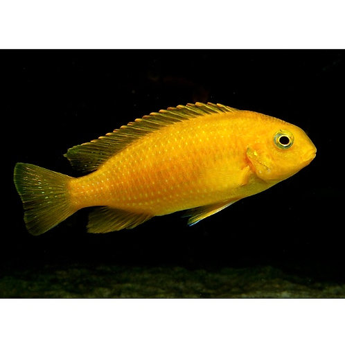 Gold Tropheops Cichlid