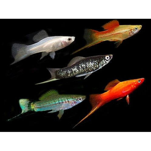 Assorted Male Swordtail