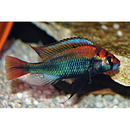 "Hap sp. ""Ruby Green"""