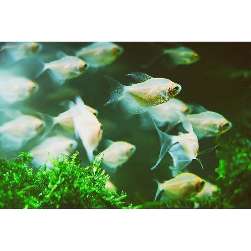 Longfin White Skirt Tetra