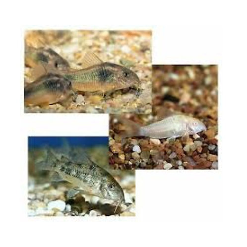 Assorted Corydoras Catfish