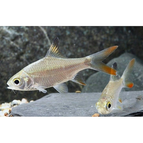 Redtail Tinfoil Barb