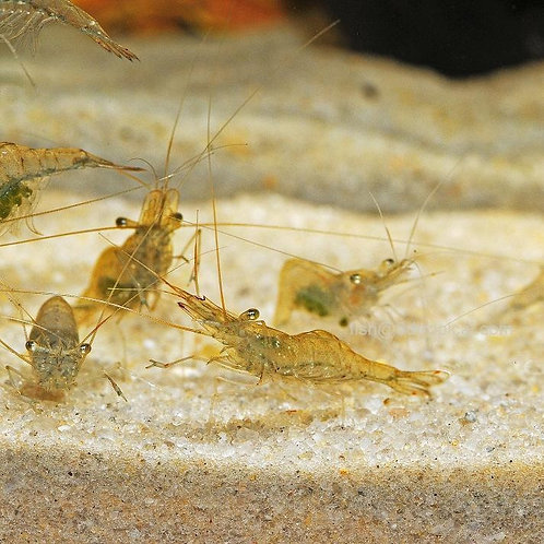 Feeder Ghost Shrimp