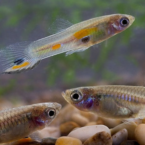 Feeder Guppies