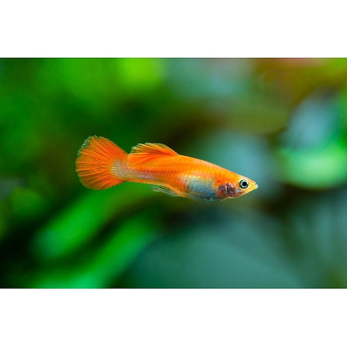 Male Red Blonde Guppy