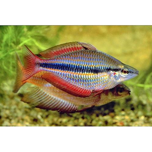Goyder River Trifasciata Rainbow