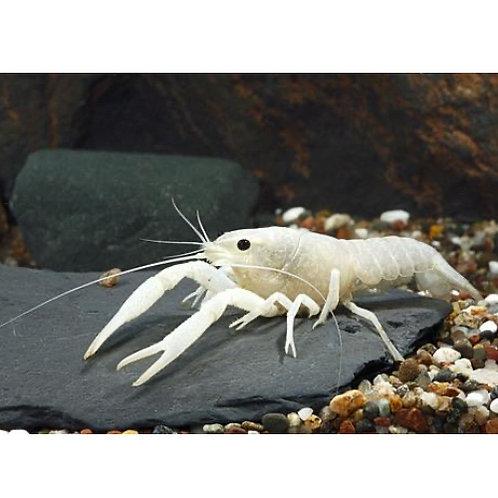 Vanilla Crayfish
