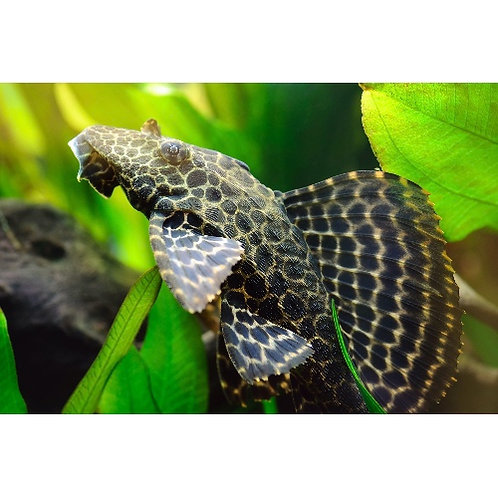 Colombian Spotted Pleco L165