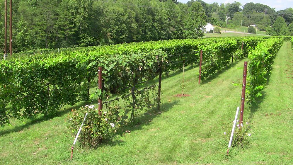 Organic at Carolina Heritage Vineyard & Winery