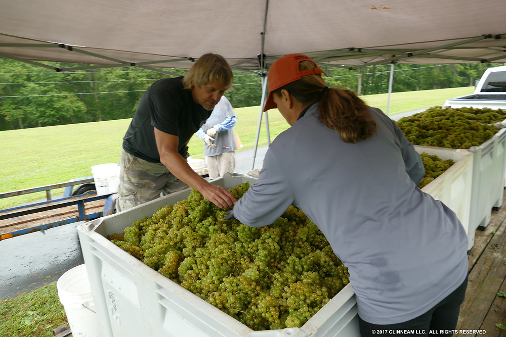 2017 Harvest of the Chardonnay with Greg and Donna