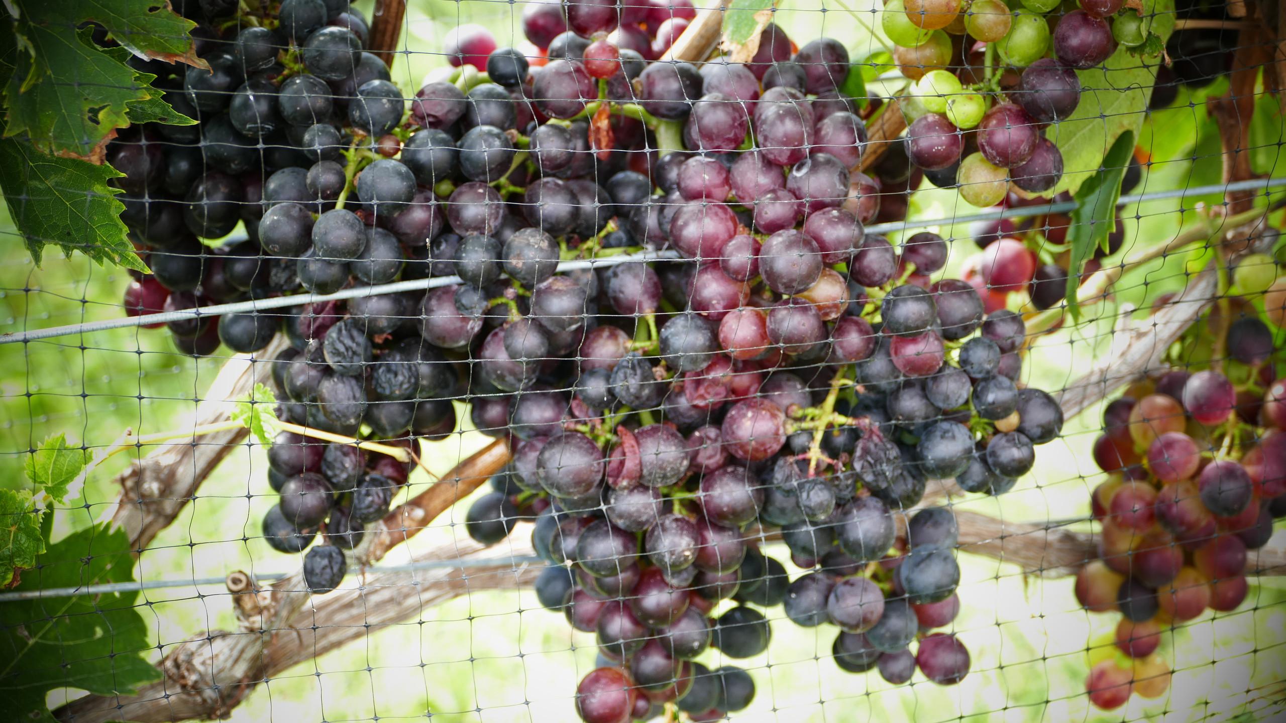 Grapes of RPV