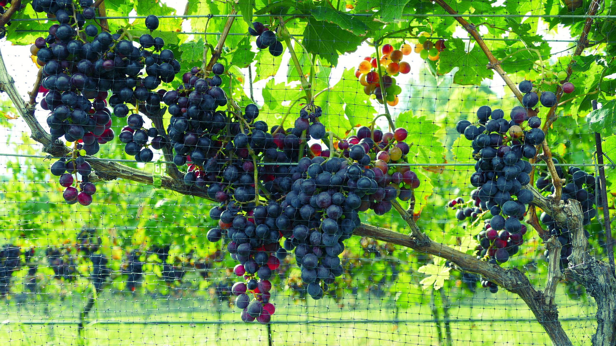 RPV Grapes2