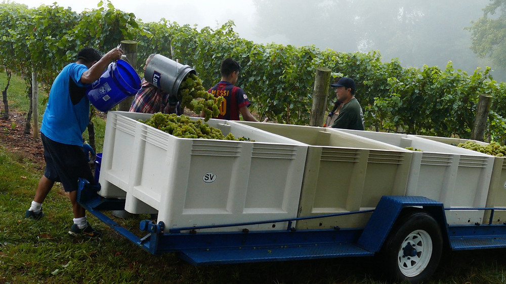 2017 Harvest of Riesling