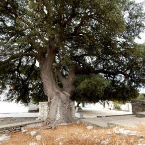 Perennial Trees