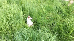 Poor Digger employing her best Meerkat skills to see over the grass