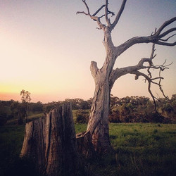 Sun setting on my favourite tree tonight #sunsetchores, #rural_love, #lonely_tree_love,#unearthcentr