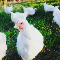So nice to see these chookens in lush new green grass #loved therain #kurrafallsfarm #naturallyandet