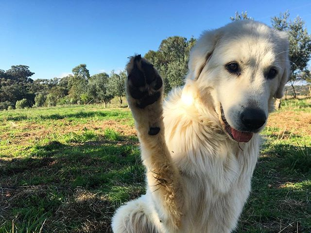 Paya says hi!! #cantbelieveigotthisshot #maremmasheepdog #paya #loveourpaya #kurrafallsfarm