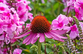 echinacea-flower.jpg