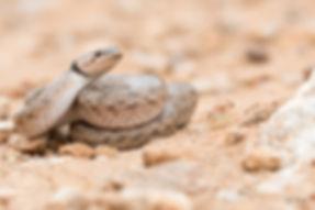 Macroprotodon brevis (1).jpg