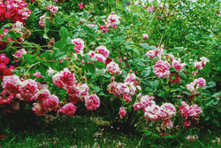 Ispahan arbusto