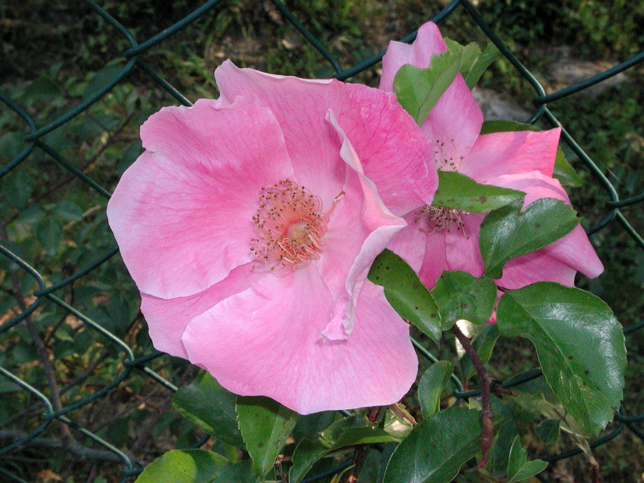 Anemone Rose (R.anemonoides)