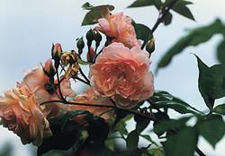 Désprez à fleur Jaune