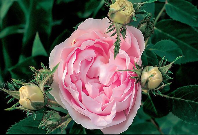 Rosa Antica Firenze