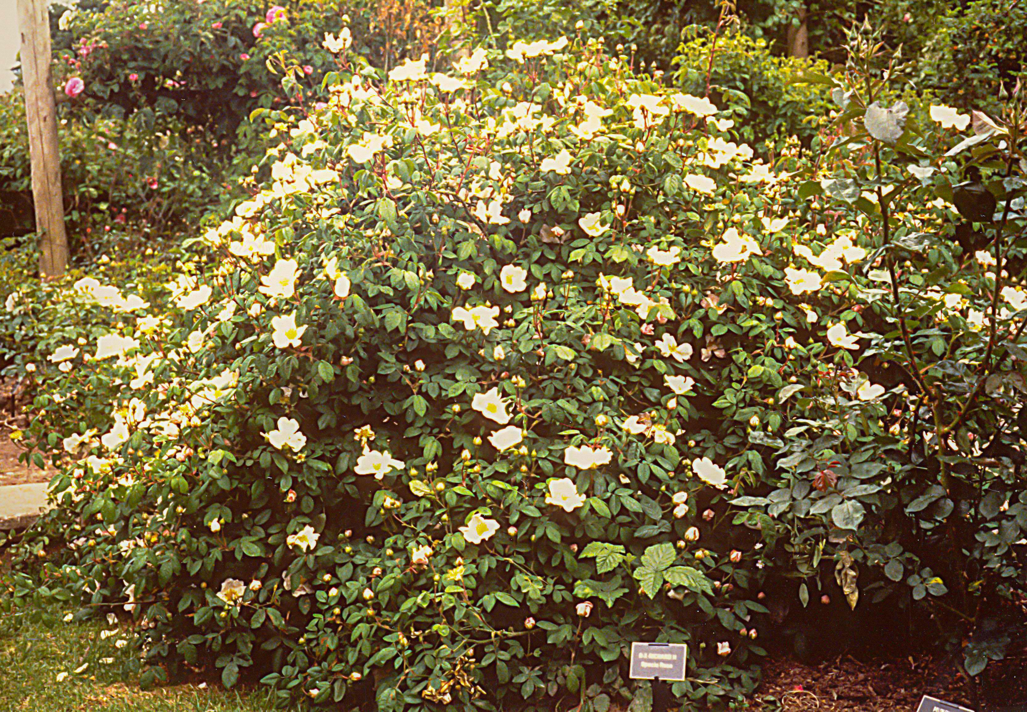 R. sancta