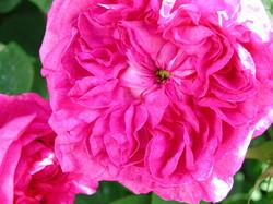Rose du Maitre d'ecole2
