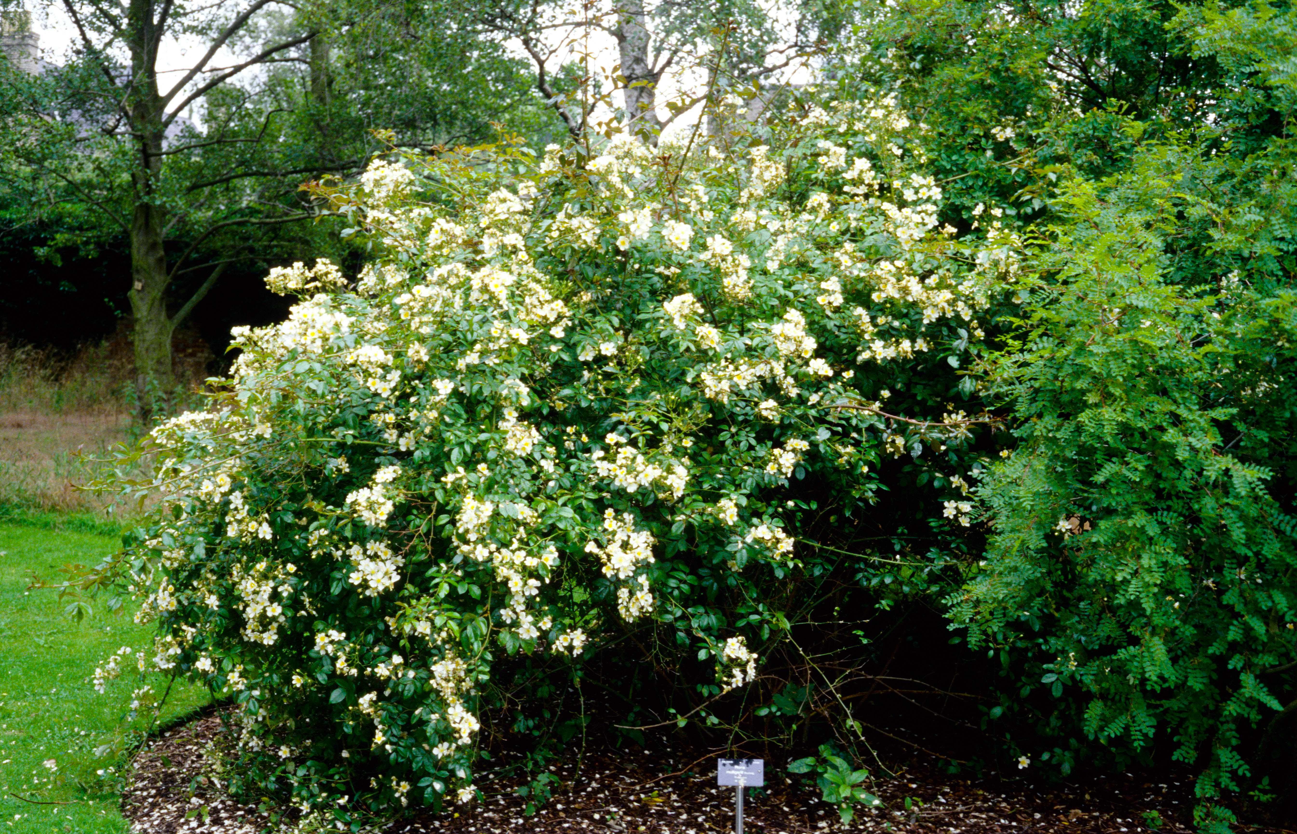 R. mulliganii